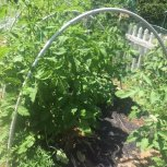 PVC hoops over tomatoes