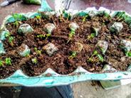 Radishes germinated